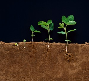 Developmental Stages of Soybean Plants